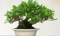 Виды растений, используемых для создания бонсай